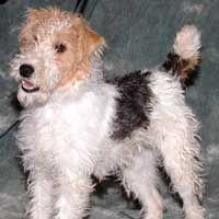 Paris is an adoptable Fox Terrier Dog in Lakewood, CO. Paris is a 6 month old purebred wire hair fox terrier and as cute as a button. She is eager and wanting to learn, and we think could pick up on a...HOW COULD YOU REFUSE ?