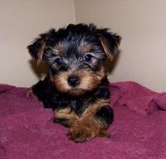 Yorkshire Terrier Puppies   akc registered breeders