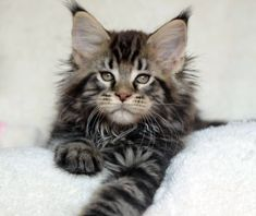 sky walker http://www.mainecoonguide.com/what-is-the-average-maine-coon-lifespan/