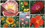 Parade of Poppies Mix