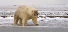 """A bear believed to be a """"pizzly,"""" a hybrid between a polar bear and a grizzly bear."""
