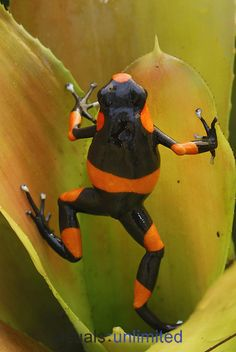 Red-banded Poison Frog on a bromeliad (Oophaga lehmanni), Cauca, Colombia