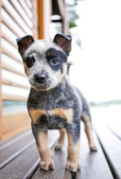Blue Heeler! The only breed we will ever own! Best dogs ever, if you know the breed! Not for a lazy dog owner, these dogs need a job or they will find one, usually includes digging holes and destroying things you love. This dog needs a job; running, retrieving, swimming, herding etc!