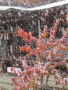 【雪】晴れ間がのぞいたのも束の間、大雪へと変わってしまいました。境内もあっという間に白く染まって行きました。    皆様、体調管理や雪道での運転にご注意ください。    写真は社殿脇の稚児桜に降り積もる雪の様子です。