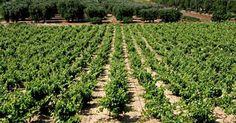 Vineyards Puglia Italy,Il primo Maruggio è uno spumante e si chiama Maccone