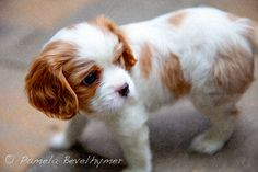 Cavalier King Charles Spaniel Puppy Dog  