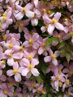 Pink Clematis -Montana - fragrant