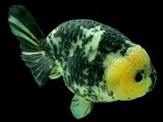 Gold Fish-Ranchu