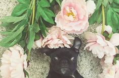 Punky | Social #pug Profile http://www.thepugdiary.com/punky-social-pug-profile/