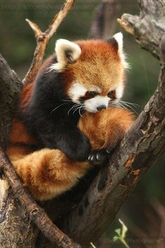 Red panda holding his tail- Literally can't take the cuteness in this picture. I LOVE RED PANDAS! Amazing Animals, Animals Beautiful, Majestic Animals, Cute Creatures, Beautiful Creatures, Nature Animals, Animals And Pets, Photo Panda, Cute Baby Animals