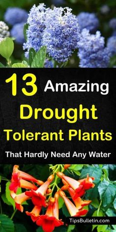 Discover 13 Colorful Drought-Tolerant Plants For Your Front Yard Or Flowering Pots. Ideal For Garden Containers And Front Yards In Zone 5 Hot Areas Like California, Texas, Arizona, Nevada Or New Mexico. The Perfect Perennials For Full Sun Conditions. Full Sun Perennials, Full Sun Plants, Full Sun Garden, Full Sun Container Plants, Full Sun Flowers, Full Sun Shrubs, Plants For Containers, Plants That Like Sun, Full Sun Perennial Flowers
