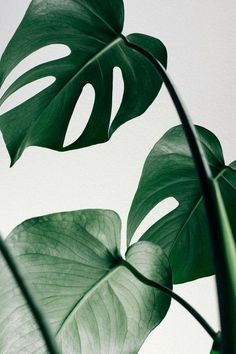botanical art, floral leaves tropical jungle plants photo Monstera