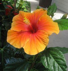 hawaiian flowers - Google Search