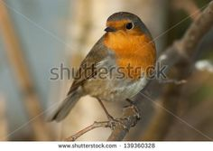 Robin Tattoo, Bird Art, Birds, Stock Photos, Bird Coloring Pages, Bird