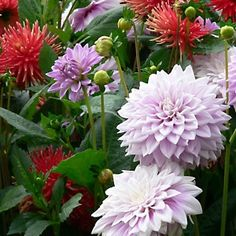 Marissa's Premium Blooms Dinner Plate Dahlias 6-Bulb Set By Spray-N-Grow