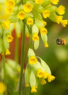 Image result for cowslips with bees Pinterest