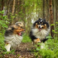 by Jane Bjerkli - Animals - Dogs Running Animals And Pets, Baby Animals, Cute Dog Pictures, I Like Dogs, Most Popular Dog Breeds, Pet Dogs, Sheep Dogs, Doggies, Herding Dogs