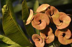 Euphorbia Stock Photos Euphorbia Flower, Photo Online, Royalty Free Photos, Stock Photos, Rose, Amazing, Flowers, Plants, Pictures