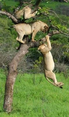 Lion's playing in the tree