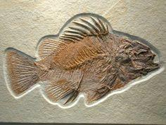Green River Fossil Fish ~ Priscacara serrata