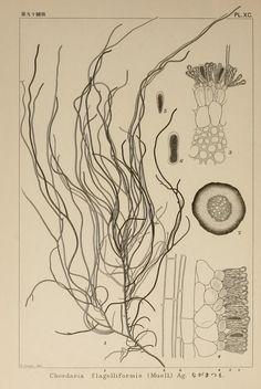 Icones of Japanese algae . Biodiversity Heritage Library