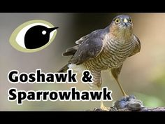BTO Bird ID - Goshawk and Sparrowhawk | BTO - British Trust for Ornithology