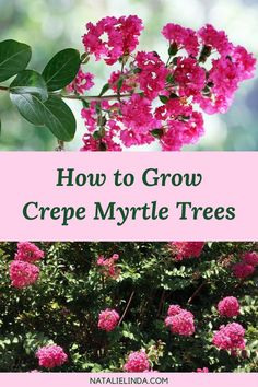 flower garden care Crepe Myrtle trees are very low-maintenance and are even drought-resistant! Learn how to plant and grow crepe myrtle trees in your garden this year; its long-blooming flower clusters are perfect for decorating front yards! Beautiful Flowers Garden, Pretty Flowers, Beautiful Gardens, Pink Flowers, Crepe Myrtle Landscaping, Front Yard Landscaping, Landscaping Ideas, Luxury Landscaping, Crepe Myrtle Trees