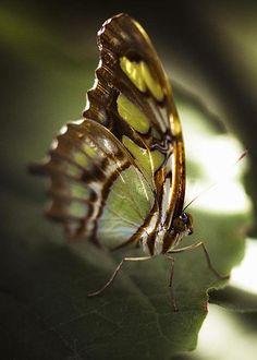 Malachite Butterfly by Bradley R Youngberg