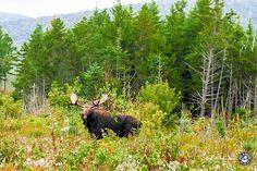 Appalachian Trail Elch