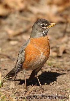 North American Red Robin.