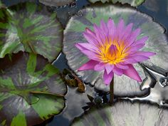 Queen of Siam, tropical waterlily