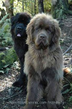 5 Of The Most Massive Dog Breeds - Newfoundland! Massive Dog Breeds, Massive Dogs, Beautiful Dogs, Animals Beautiful, Cute Animals, Wild Animals, Brown Newfoundland Dog, Newfoundland Puppies, Cute Puppies