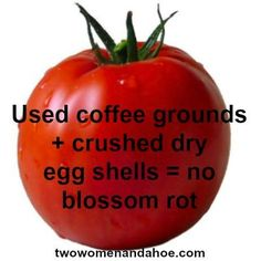 Problems In Growing Tomatoes Organic Gardening: Coffee Grounds Egg Shells = No Blossom Rot Just sprinkle into the soil when you plant your seeds Growing Veggies, Growing Tomatoes, Rotten Tomatoes, Garden Club, Lawn And Garden, Garden Shop, Garden Beds, Uses For Coffee Grounds, Coffee Grounds Garden