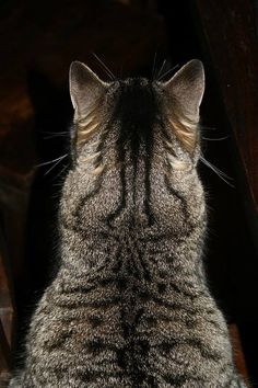 Tabby cat ♥ I own two, and I loooove their fur, it reminds me of tigers
