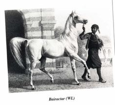 Bairactar DB.  Strain: Saglawi Jedran.  The oldest existing stallion family in Poland today is that of BAIRACTAR OA He was a white stallion foaled 1813. In 1817 acquired for Weil (Stud-Germany) from his purchaser, Baron von Fechtig He served at Weil until his death in 1838 He was the sire at Weil of 8 purebred Arabians