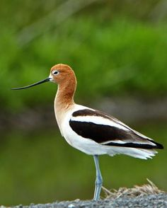 American Avocet (Recurvirostra americana)  My favorite shorebird of ND