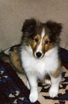 Sudi is my mom's new sheltie puppy.  [photo: Alice Bur]     ...for Dog Training DVDs  click here... http://www.trainingdogsvideos.com