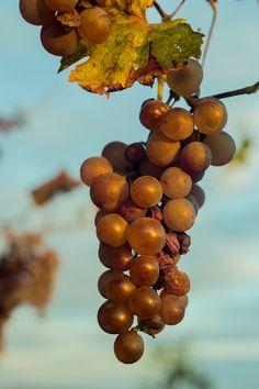 """Ripe wine grapes - """"Kellergasse Maulavern"""" -  #weinviertel #weinviertlertourismus #niederösterreich #loweraustria #austria #farmland #countryside #tourism #leisuretime #homeland Vineyard, Wine, Fruit, Food, Vine Yard, Essen, Vineyard Vines, Meals, Yemek"""