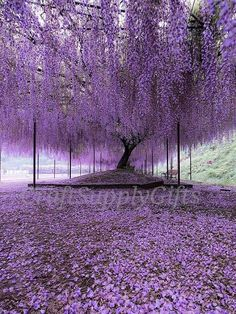 Nature Photography - Purple carpet of blooming Wisteria petals Hyogo, Japan. Photo by Wisteria Tree, Purple Wisteria, Purple Trees, Wisteria Japan, Wisteria Tunnel, Wisteria Garden, Purple Flowers, Hyogo, Beautiful Flowers