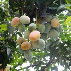 Sweet mangoes