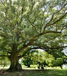 Shirley's Willow Oak
