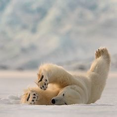 Polar bear relaxing Photograph by Roie Galitz. #RoieGalitz #nature #polarbear…