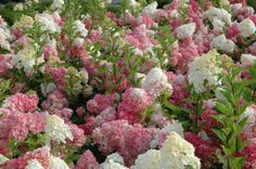 Hydrangea Vanilla Strawberry will liven up any summer garden with it's bi-colored blossoms that last for months!