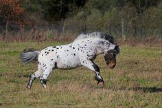 seal brown near leopard - Appaloosa Pony stallion Amani vom Fasanenschroom