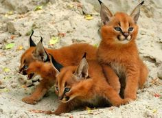 Caracal kittens....Not a cat person but this breed is pretty cool looking.
