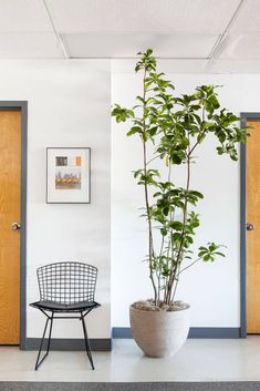 Best Indoor Trees, Big Indoor Plants, Big Plants, Indoor Planters, Tropical Plants, House Plants Decor, Plant Decor, Ficus Lyrata, Rama Seca