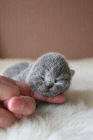 british blue kitten....divine!