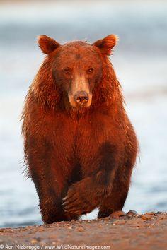 Brown or Grizzly Bear, Lake Clark National Park, Alaska.