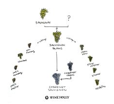 Sauvignon Blanc family tree by Wine Folly