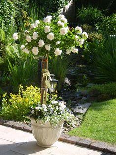 Rosen White Meidiland mit schneeflockenblume und fleißiges lieschen